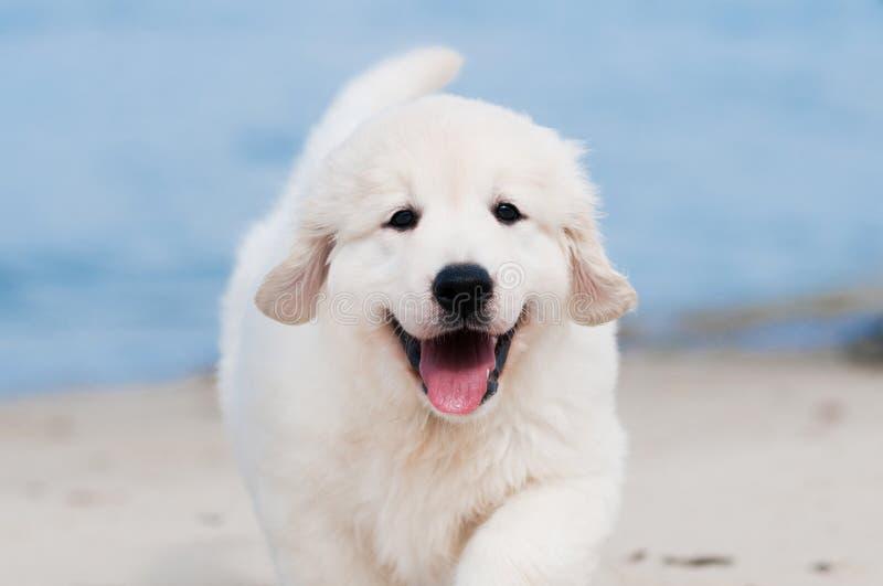 Golden retrieverpuppy op het strand stock foto
