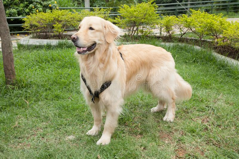 Beautiful golden retriever breed bitch in the park. Golden retrievers or golden collectors are dogs with a desire to please and respond positively to obedience royalty free stock images