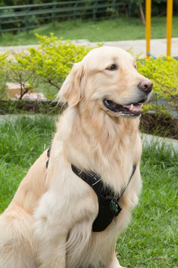 Beautiful golden retriever breed bitch in the park. Golden retrievers or golden collectors are dogs with a desire to please and respond positively to obedience royalty free stock photo