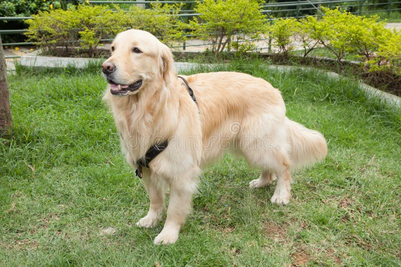 Beautiful golden retriever breed bitch in the park. Golden retrievers or golden collectors are dogs with a desire to please and respond positively to obedience stock photo