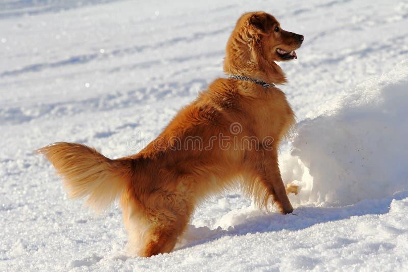 Golden retrieverspelen in de winter in de sneeuw stock fotografie