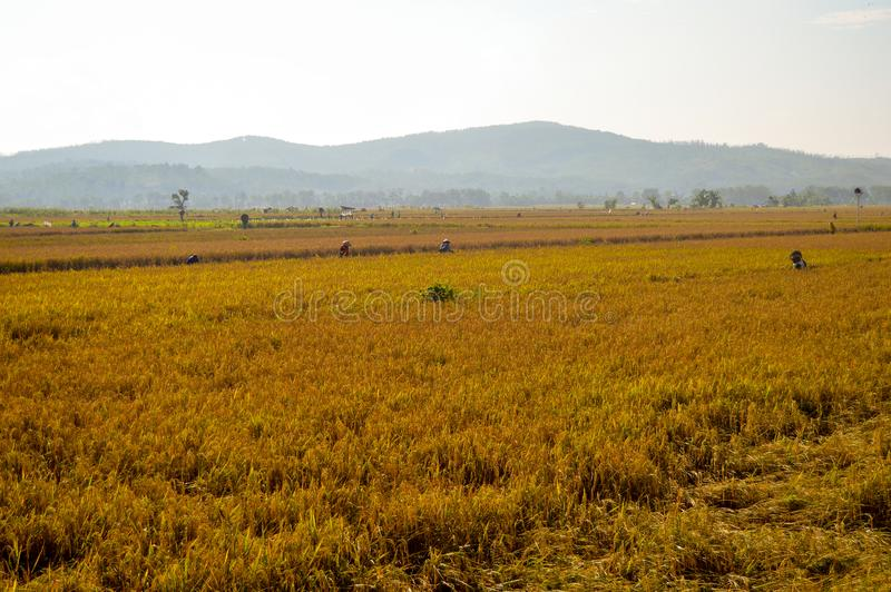 Golden rice farmland in the morning stock photo