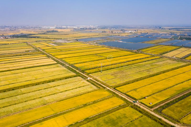 Golden rice field in autumn. Aerial view of golden paddy field in autumn stock images