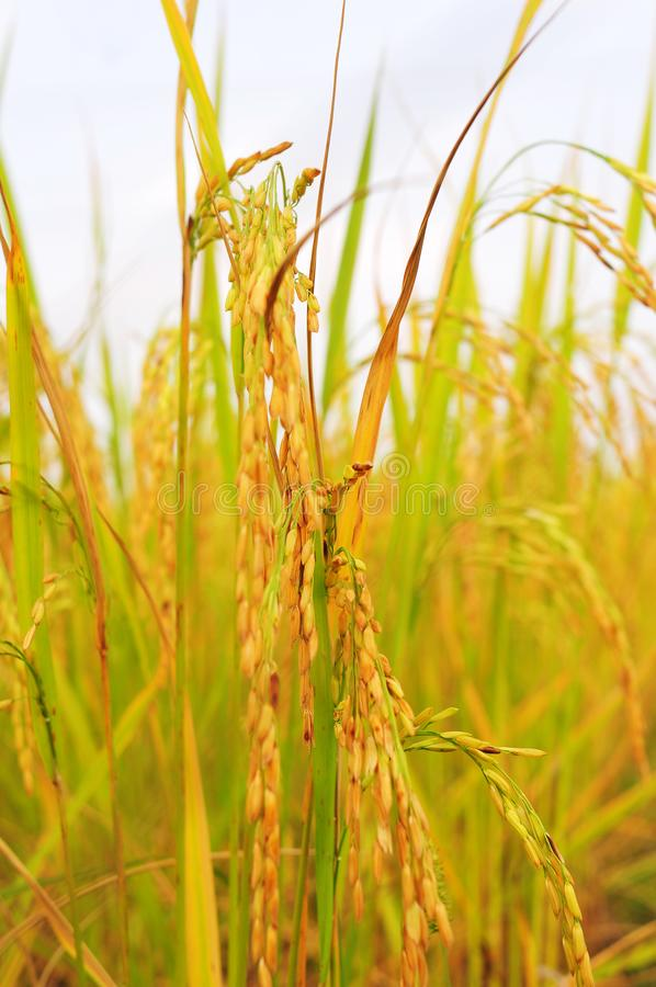 Golden rice glittering is coming up to harvest in shortly. royalty free stock photography