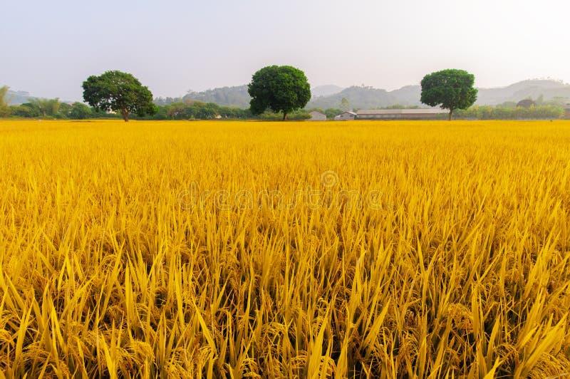 Golden rice has three trees. Harvest season, rice a golden, three trees was lush royalty free stock image