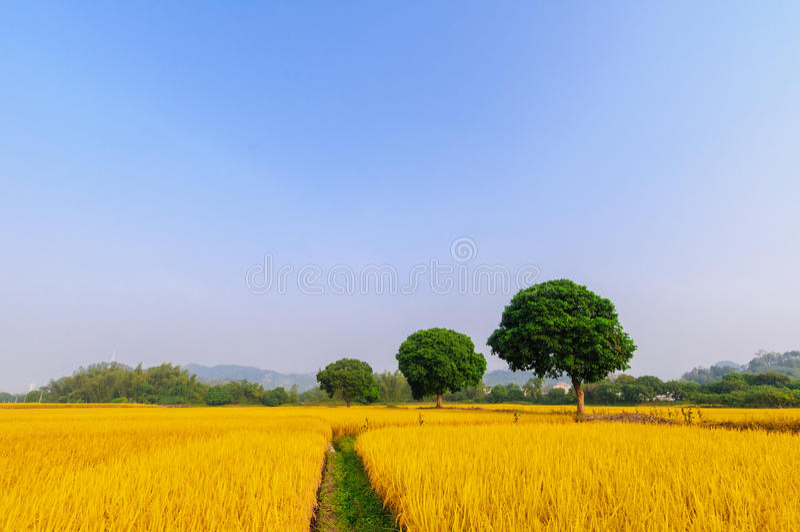 Golden rice has three trees. Harvest season, rice a golden, three trees was lush stock photo