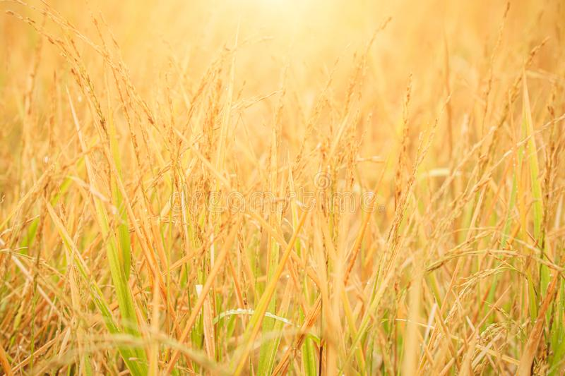 Golden rice paddy field during sunrise. Golden rice paddy field during sunrise for wallpaper royalty free stock photos