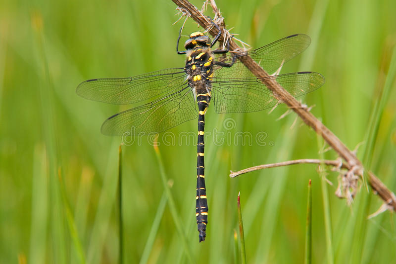 Golden-Ringed Dragonfly (Cordulegaster boltonii) stock photography