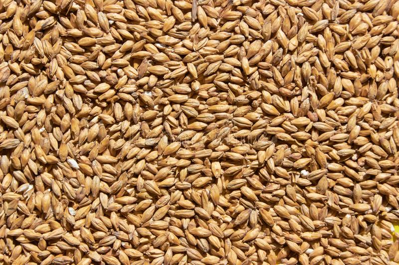 Barley grains for background texture royalty free stock photography