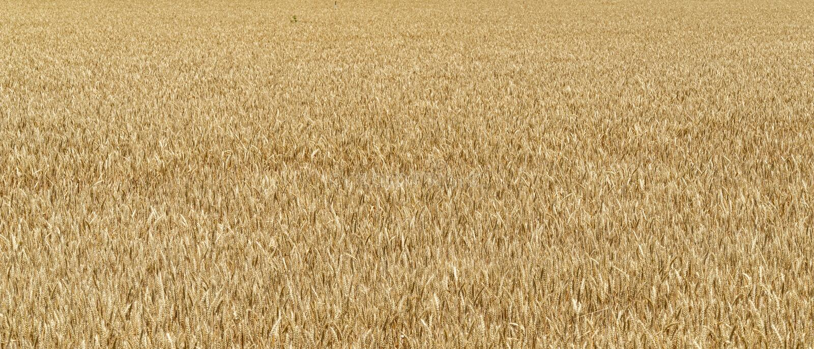 Golden ripe ears of wheat in field, rural countryside. Sunny summer day in field during harvest wheat close up stock photography