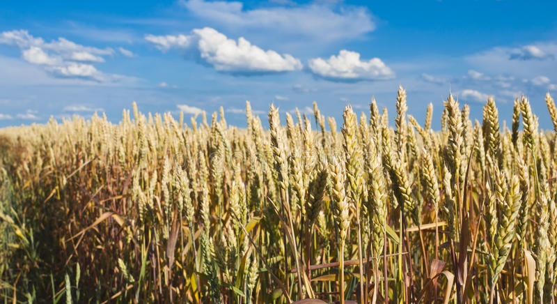 Download Golden, Ripe Wheat Royalty Free Stock Photos - Image: 26845688