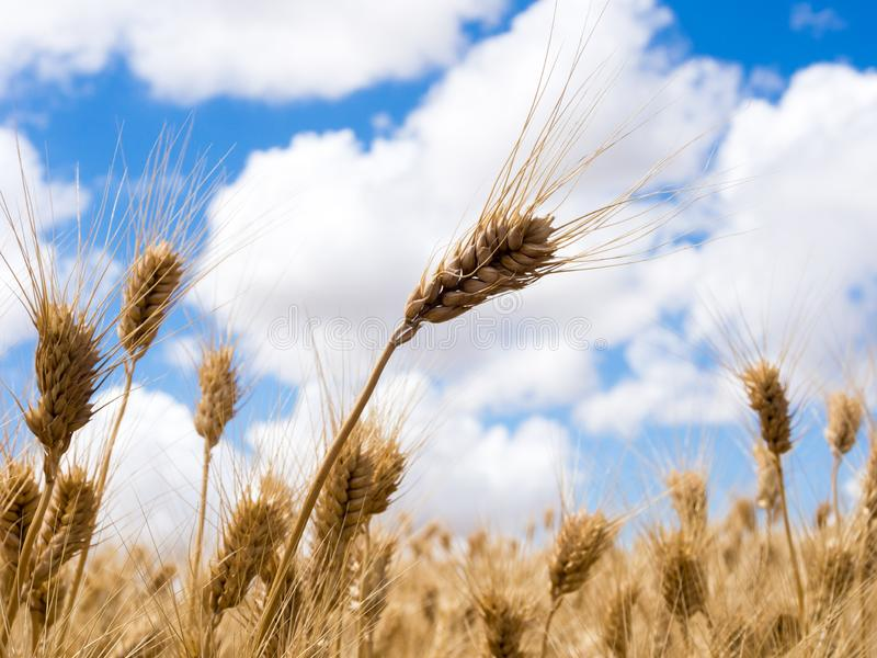 Wheat fields in Washington state, USA. Golden ripe wheat against blue sky with clouds in Eastern Washington state, USA stock photo
