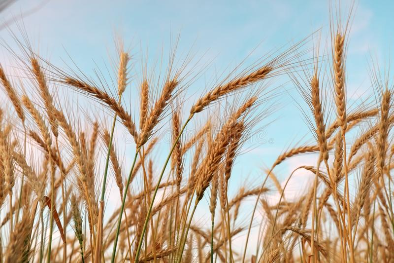 Golden ripe wheat field, sunny day, agricultural landscape, growing plant, cultivate crop royalty free stock photo