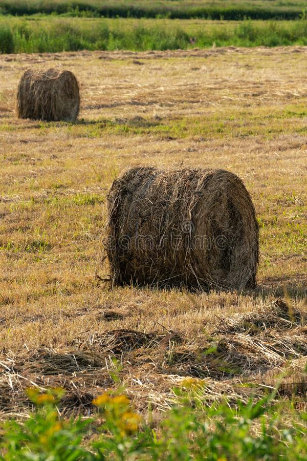Golden rolls of hay on mowed field, rural landscape on sunny day. View of golden rolls of hay on mowed field, rural landscape on sunny day, dry weather in which stock photos