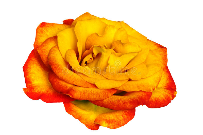 Golden Rose Over White Royalty Free Stock Photography