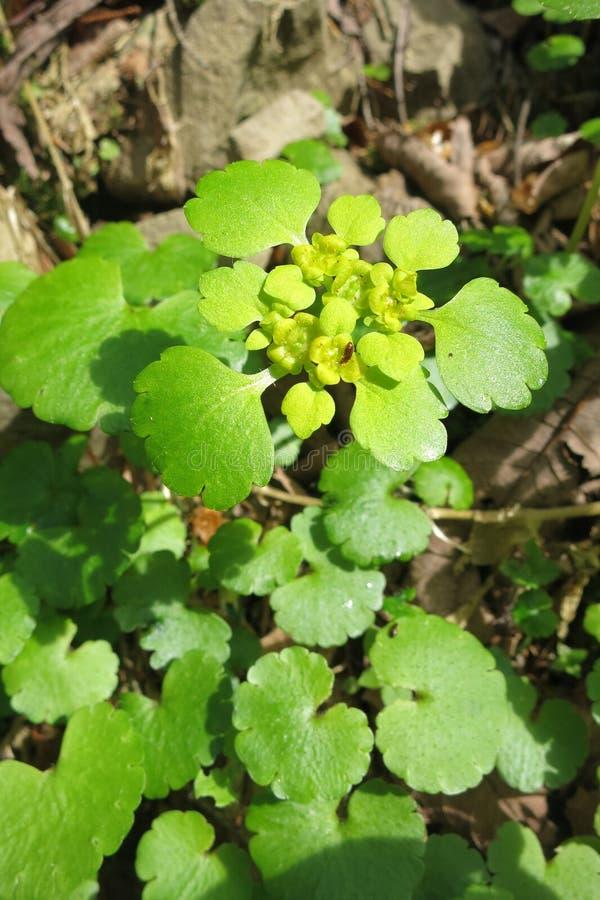 Golden saxifrage Chrysosplenium sp royalty free stock photos
