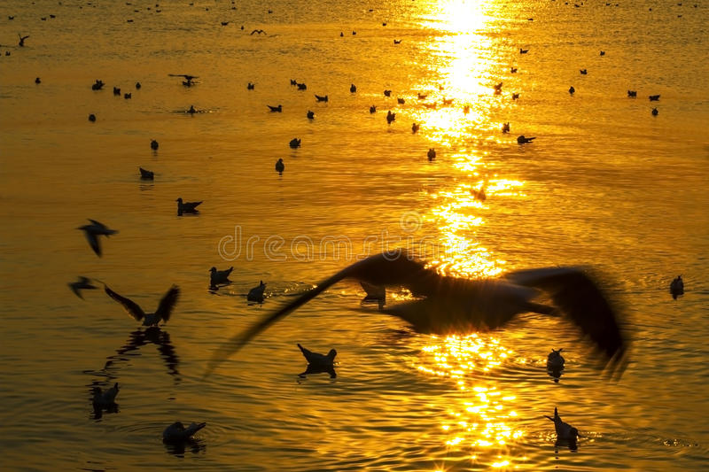 Golden seagull play on water stock images