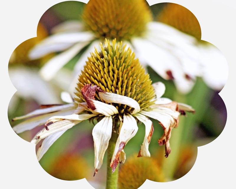 Golden seeds of the Cone Flower plant. White petals are withered and faded at the end of summer royalty free stock photos