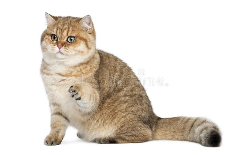 Golden shaded British shorthair, 7 months old stock photos