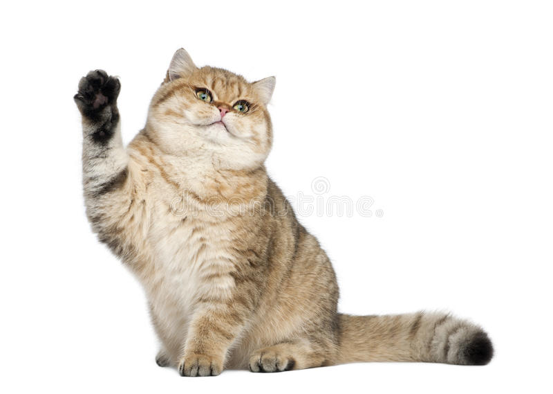 Golden shaded British shorthair, 7 months old. Sitting against white background royalty free stock image