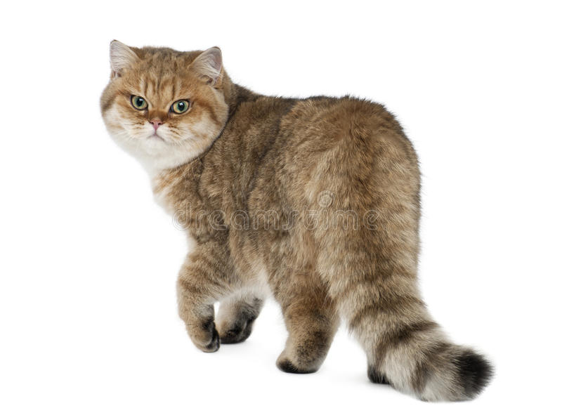 Golden shaded British shorthair, 7 months old. Walking against white background royalty free stock image