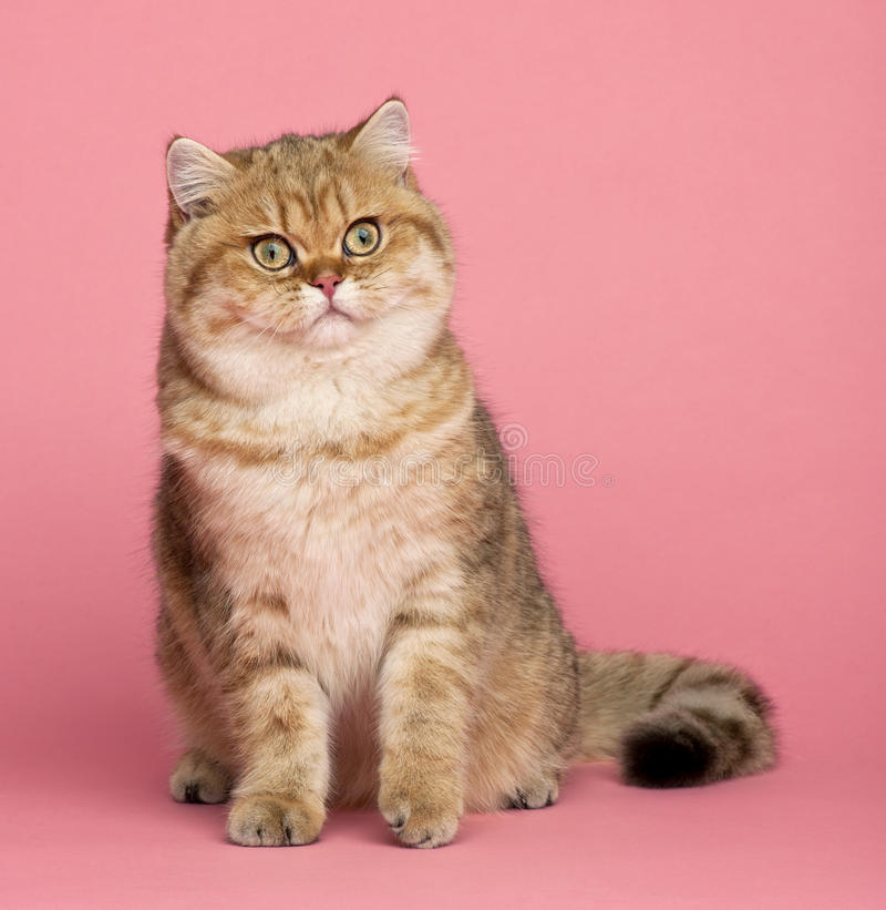 Download Golden Shaded British Shorthair, 7 Months Old Stock Image - Image of colored, view: 26643579