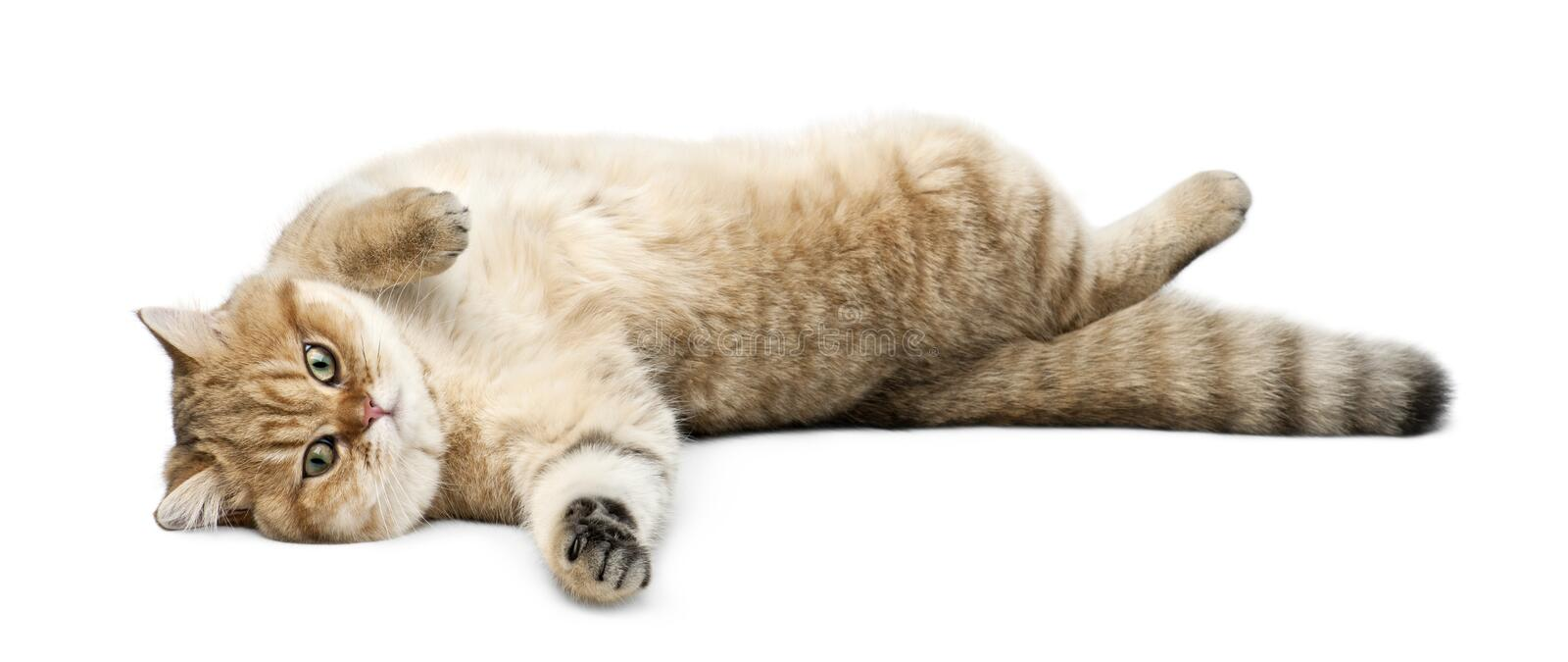 Golden shaded British shorthair, 7 months old, lying against white background royalty free stock image