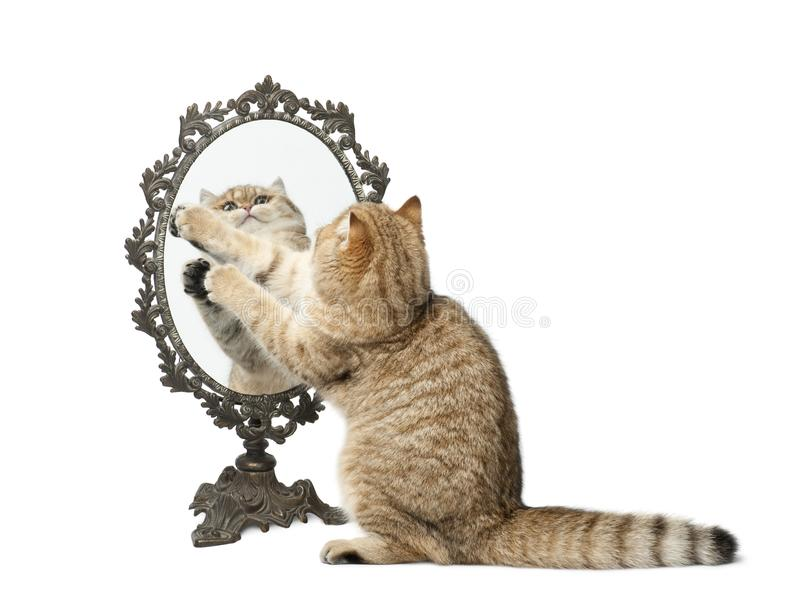 Golden shaded British shorthair, 7 months old, playing with mirror against white background royalty free stock photography