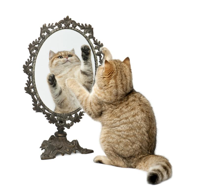 Golden shaded British shorthair, 7 months old, playing with mirror against white background royalty free stock images