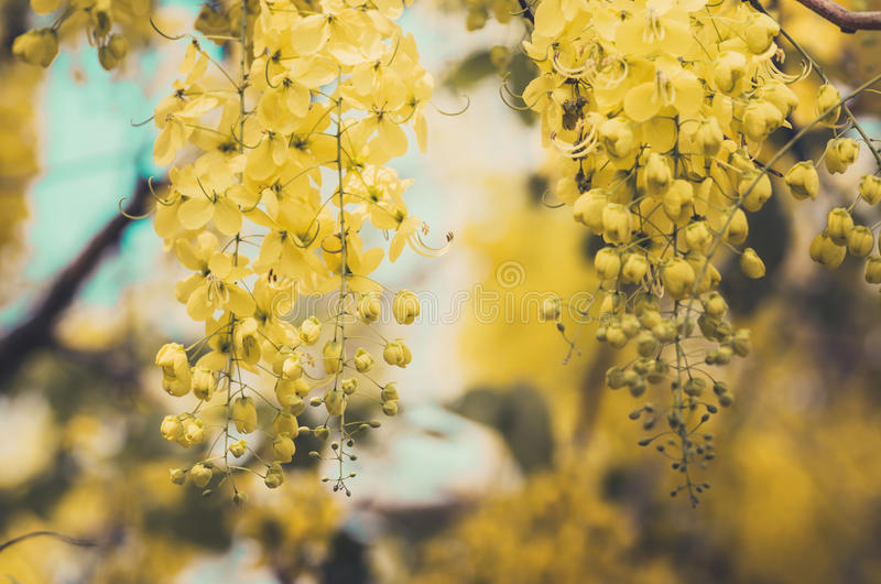Golden shower or Cassia fistula flower vintage royalty free stock images