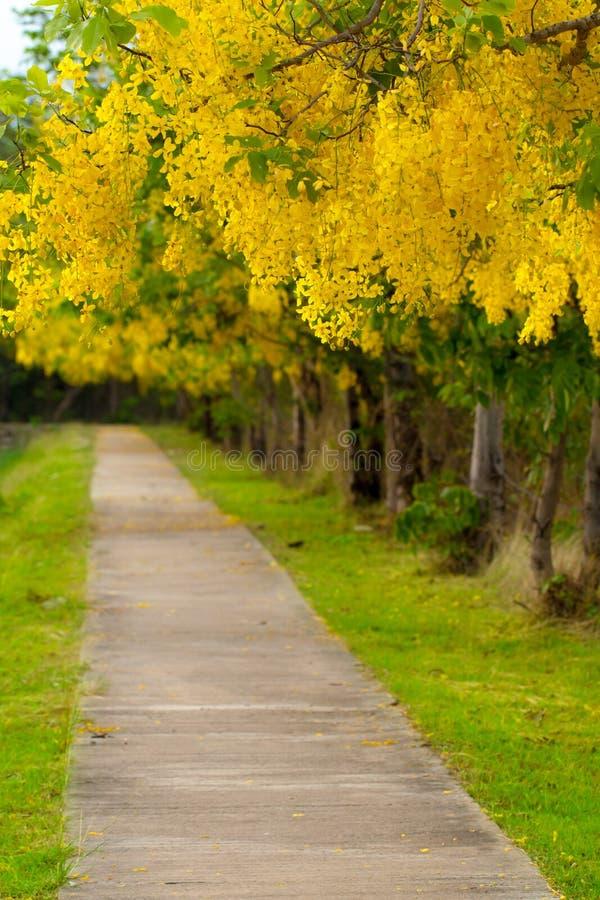 Download Golden shower. stock image. Image of kanchanaburi, yellow - 39510903