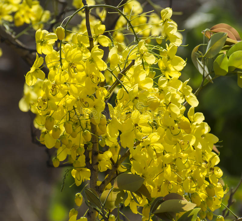 Golden Shower Flowers. Golden Shower TreeCassia fistula yellow flowers in the forest royalty free stock images