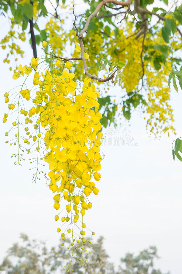Golden shower flowers , yellow flower Cassia fistula in summer T royalty free stock photography