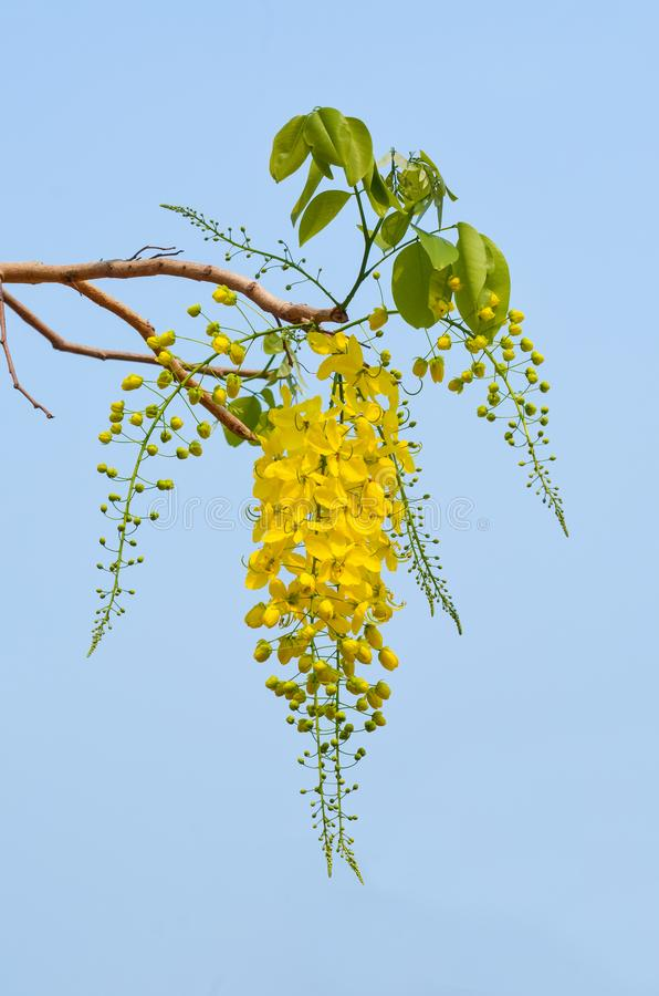 Free Golden Shower Or Cassia Fistula Flower Stock Image - 143672431