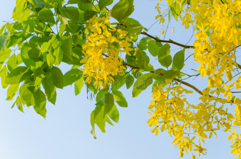 Golden shower tree beautiful yellow flower stock photo image of download golden shower tree beautiful yellow flower stock photo image of nature abstract mightylinksfo Gallery