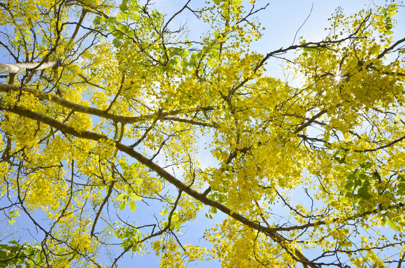 Golden Shower tree ( Cassis fistula Linn ) stock image