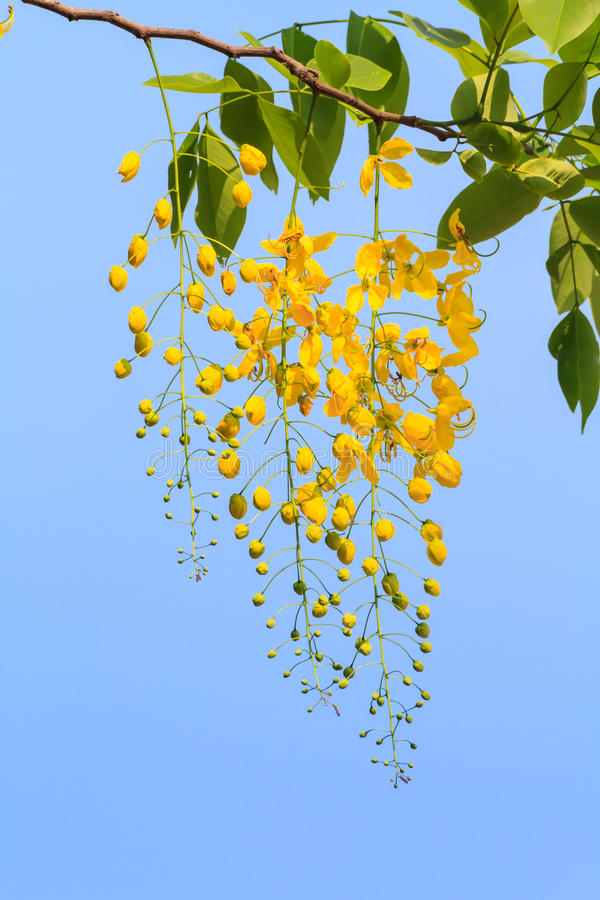 Golden shower tree flowers royalty free stock photography
