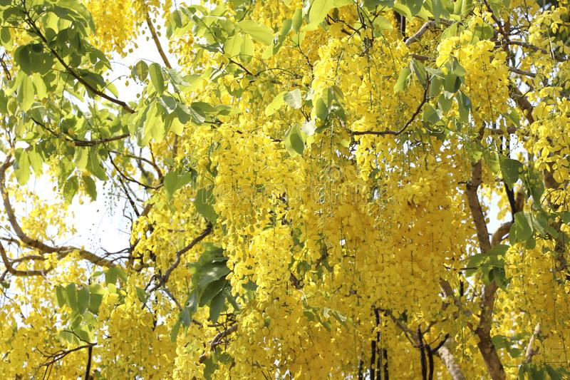 Golden shower tree full bloom in summer. Yellow flowers are full bloom. stock photography