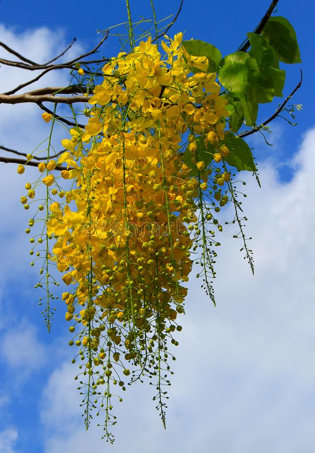 Golden shower tree on sky background stock photography