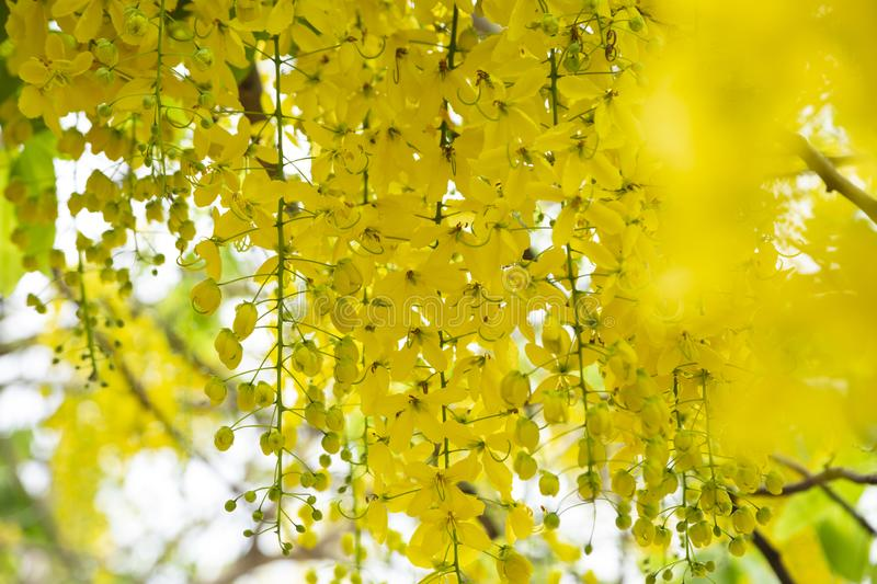Golden Shower TreeCassia fistula is beauty yellow flower  in summer. A group of Golden Shower TreeCassia fistula are take photo in Khon Kaen, Thailand at summer royalty free stock photography