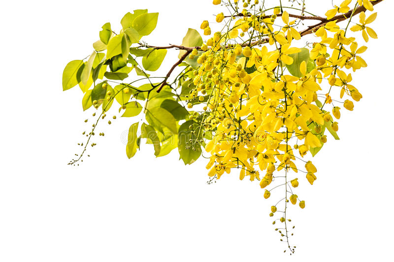 Golden showerCassia fistula stock photos