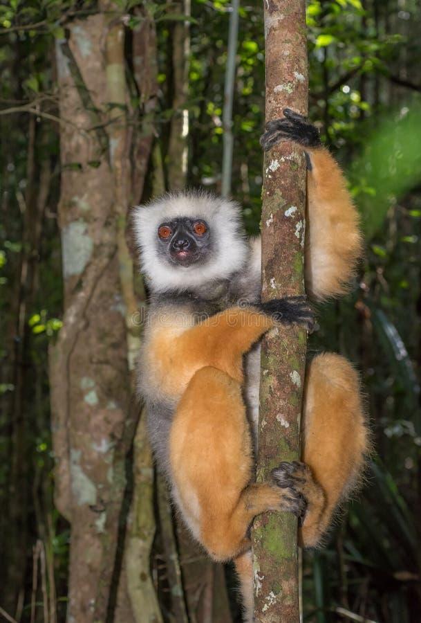 Golden Sifaka, dancing lemur of Madagascar. Image of Golden Sifaka, Madagascar dancing lemur royalty free stock photos