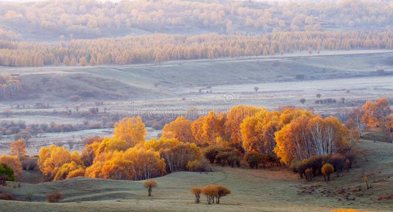 Download Golden silver birch stock image. Image of draw, hillside - 5522367