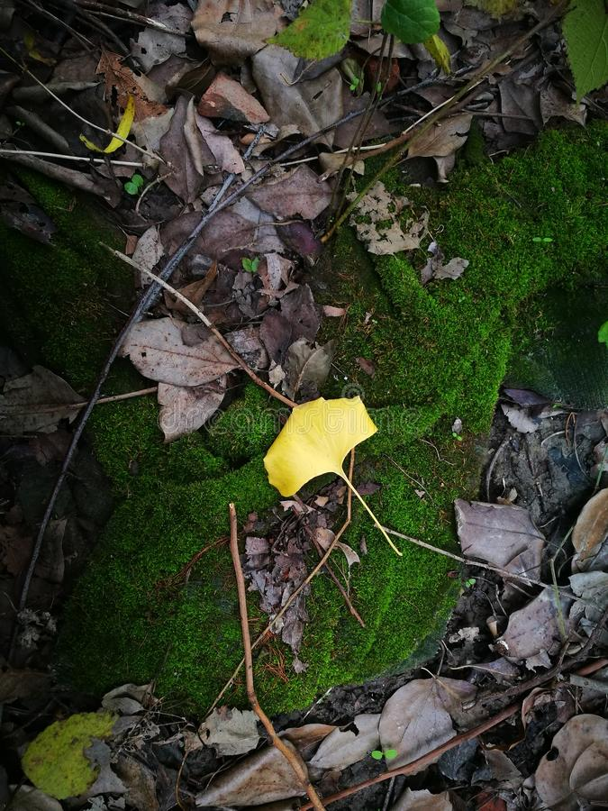 Golden single ginkgo leaf lying on the green moss stock photography