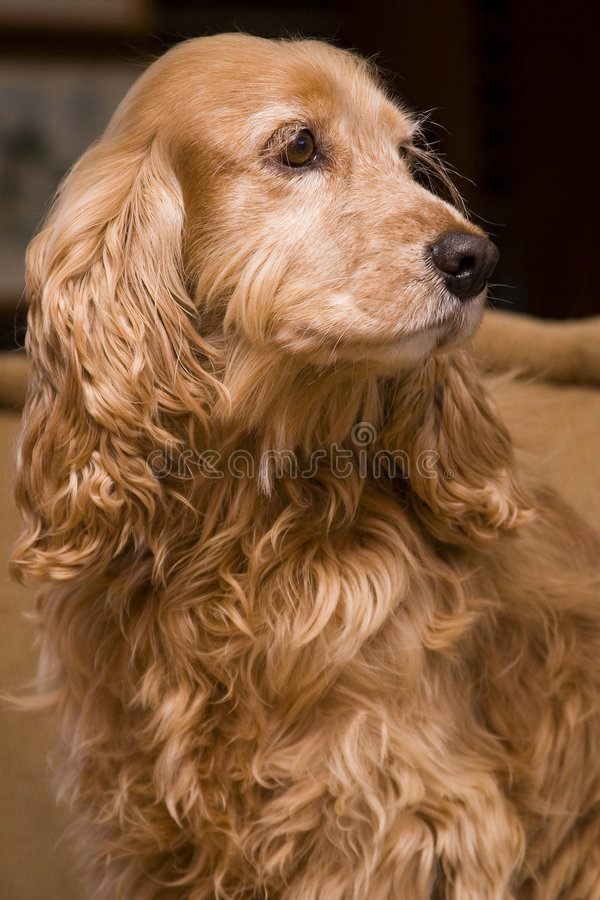 Golden spaniel portrait. Taken of our family dog candy royalty free stock photo