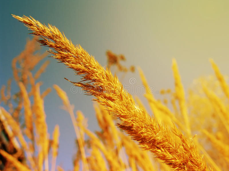 Golden spike of field plants at sunset of autumn day closeup stock image