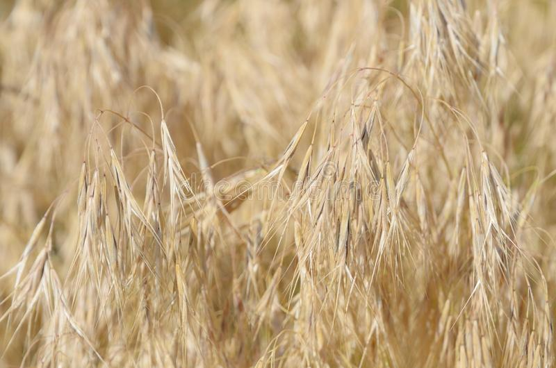 Golden spike-lets of dry grass. royalty free stock photo