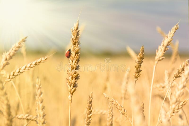 Golden spikelets of ripe wheat and ladybug on nature yellow field at sunset rays with sunshine close-up. Spring summer background. Copy space royalty free stock photos