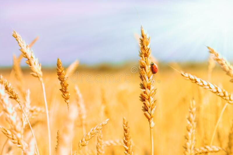 Golden spikelets of ripe wheat and ladybug on nature yellow field at sunset rays with sunshine close-up. Spring summer background. Copy space stock image