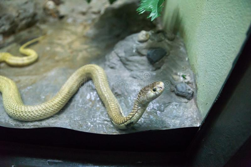 Golden Spitting cobra crawling on rock and Glass cabinet stock image